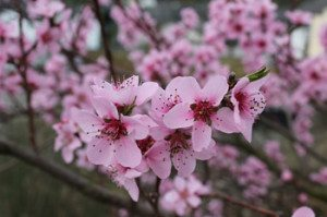 Pfirsichblüte 3